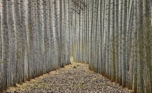 Filas de árboles